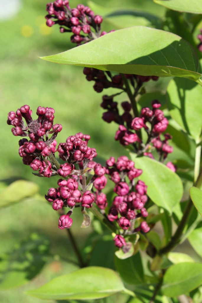 Lilac2 april 21