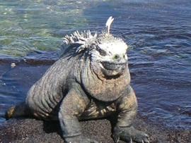 Marine_iguana_lefty